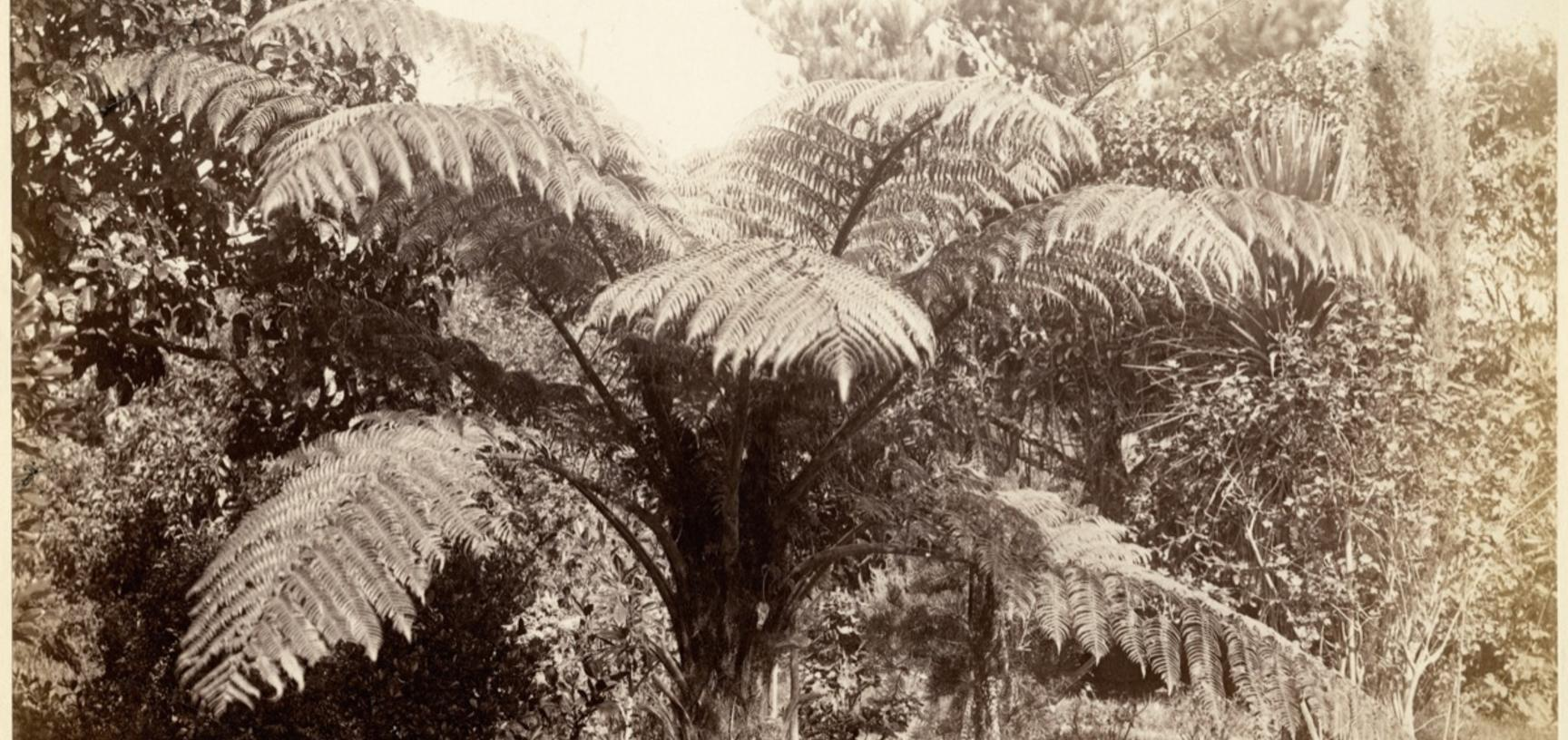 Tree fern (Dicksonia squarrosa) and other vegetation. Photograph by Alfred Burton for the Burton Brothers studio (Dunedin). New Zealand. Circa 1885. (Copyright Pitt Rivers Museum, University of Oxford. Accession Number: 1998.245.177)
