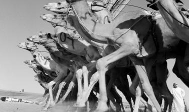 Camel race. Abu Dhabi, United Arab Emirates. Photograph by Roger Chapman. 2012. (Copyright Roger Chapman)