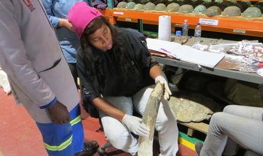 National Museum of Namibia curator Nzila M. Libanda-Mubusisi with one of the elephant tusks during sampling. Photo by: Shadreck Chirikure