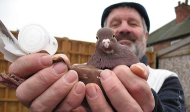 'Pigeon Pete' (Peter Petravicius) is a retired miner/steeple jack/factory worker from Nottingham, with over fifty years of experience as a pigeon-fancier.