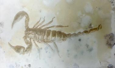 Gelatin silver print showing a species of scorpion. (Copyright RD3 Project/Rikuzentakata City Museum)
