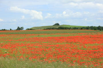 figure 1 poppies roundway down